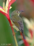Sunbird, Brown-throated (female) @ Botanic Gardens