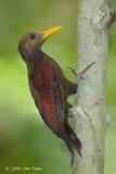 Woodpecker, Maroon (female)