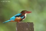 Kingfisher, White-throated