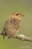 Cuckoo, Plaintive (juvenile) @ Japanese Gardens