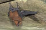 Bat, Lesser Sheath-tailed