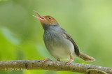 Tailorbird, Ashy (male) @ Jurong Lake