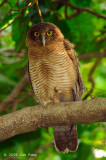 Owl, Rufous @ Botanic Gardens