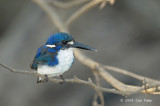 Kingfisher, Little (molting) @ Yellow Water
