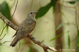 Cuckoo, Brush @ Fogg Dam