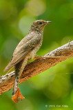 Cuckoo, Brush (juvenile) @ Fogg Dam