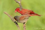 Finch, Crimson @ Fogg Dam