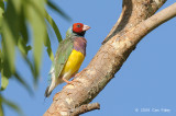 Finch, Gouldian @ Chinaman Creek