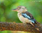 Kookaburra, Blue-winged (female) @ Botanic Gardens