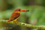 Kingfisher, Oriental Dwarf @ Hulu Langat