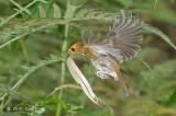 Flycatcher, Rufous-browed @ Telecom Loop
