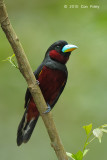 Broadbill, Black-and-Red