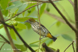 Flowerpecker, Yellow-vented