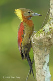 Woodpecker, Checker-throated (female)