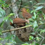 Woodpecker, Rufous (family feeding on ant nest)