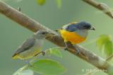 Flowerpecker, Orange-bellied (pair)