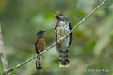Cuckoo, Malaysian Hawk (juv)