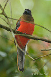Trogon, Diard's (imm. male)