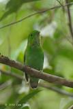 Broadbill, Green (female)