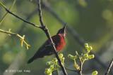 Sunbird, Purple-throated (male)