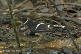 Forktail White-crowned