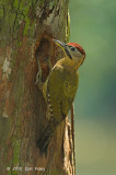 Woodpecker, Laced (male) @ Chinese Gardens