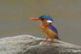 Kingfisher, Malachite