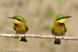 Bee-eater, Little