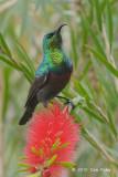 Sunbird, Marico (male)