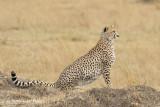 Lone Cheetah