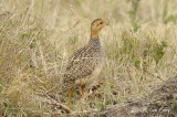Francolin, Coqui (male)