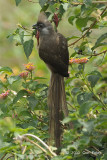 Mousebird, Speckled @ Mara Serena Safari Lodge