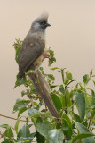 Mousebird, Speckled @ Mara Serena Safari Lodge