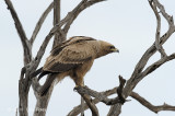 Eagle, Tawny (dark morph)
