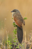Coucal, White-browed