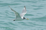 Tern, Greater Crested @ Singapore Strait
