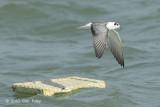 Tern, White-winged @ Singapore Strait