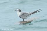 Tern, Aleutian @ Singapore Strait
