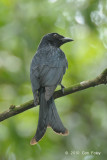 Drongo, Crow-billed (first winter) @ Bidadari