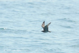 Skua, Pomarine @ Straits of Singapore