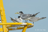 Tern Swift @ Straits of Singapore