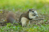 Squirrel, Variable @ Bidadari