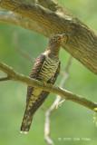 Cuckoo, Oriental (female hepatic morph) @ Bidadari