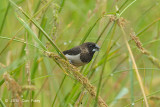Munia, White-rumped @ Sungei Balang