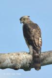 Eagle, Mountain Hawk