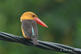 Kingfisher, Brown-winged @ Langkawi