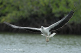 Eagle, White-bellied Fish