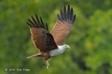 Kite, Brahminy