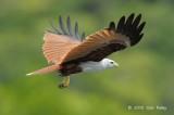 Kite, Brahminy @ Langkawi