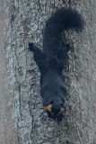 Squirrel, Black Giant @ Langkawi